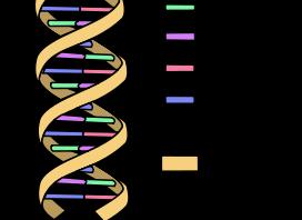 DNA Sturktur